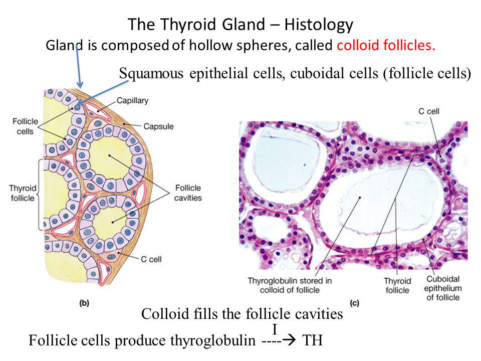 The Thyroid Gland – Histology Gland is composed of hollow spheres, called colloid follicles. Squamous epithelial cells, cuboidal cells (follicle cells