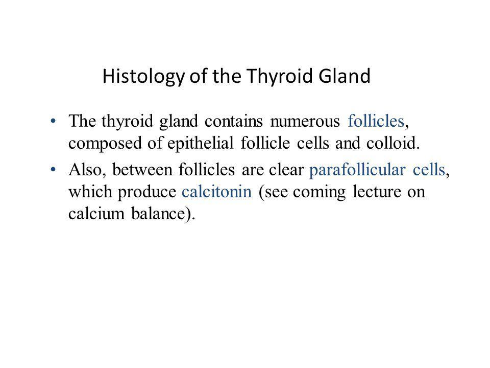 Thyroid Follicles