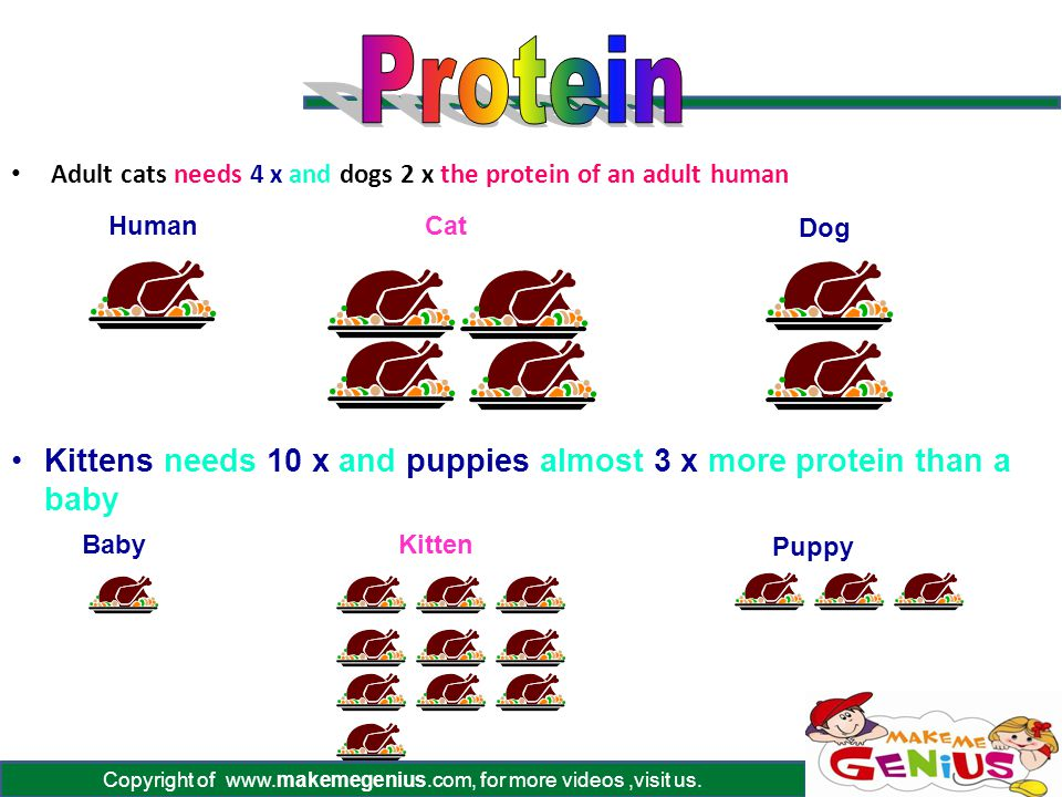 Copyright of www.makemegenius.com, for more videos,visit us. Adult cats needs 4 x and dogs 2 x the protein of an adult human Kittens needs 10 x and pu
