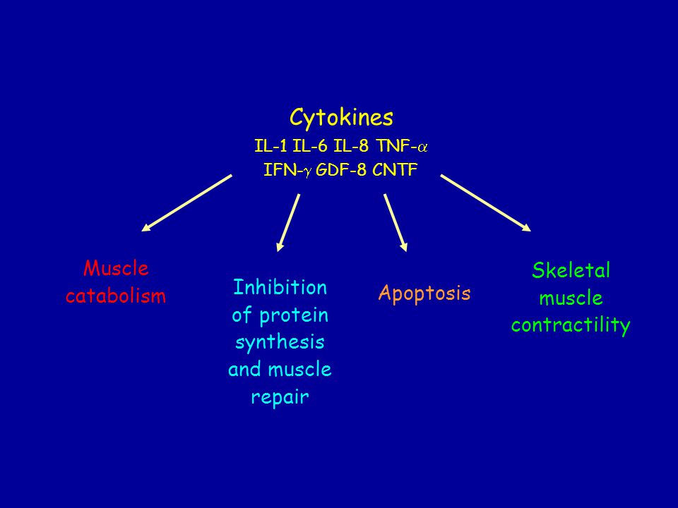 Muscle catabolism Cytokines IL-1 IL-6 IL-8 TNF- IFN- GDF-8 CNTF Inhibition of protein synthesis and muscle repair Apoptosis Skeletal muscle contractility