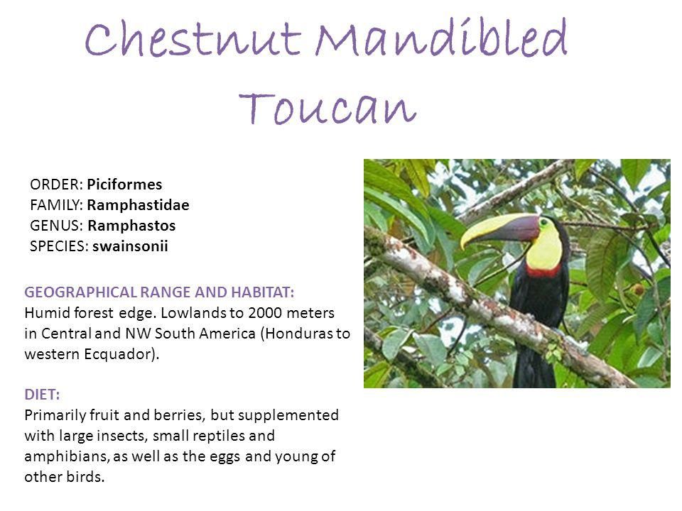 Chestnut Mandibled Toucan GEOGRAPHICAL RANGE AND HABITAT: Humid forest edge.
