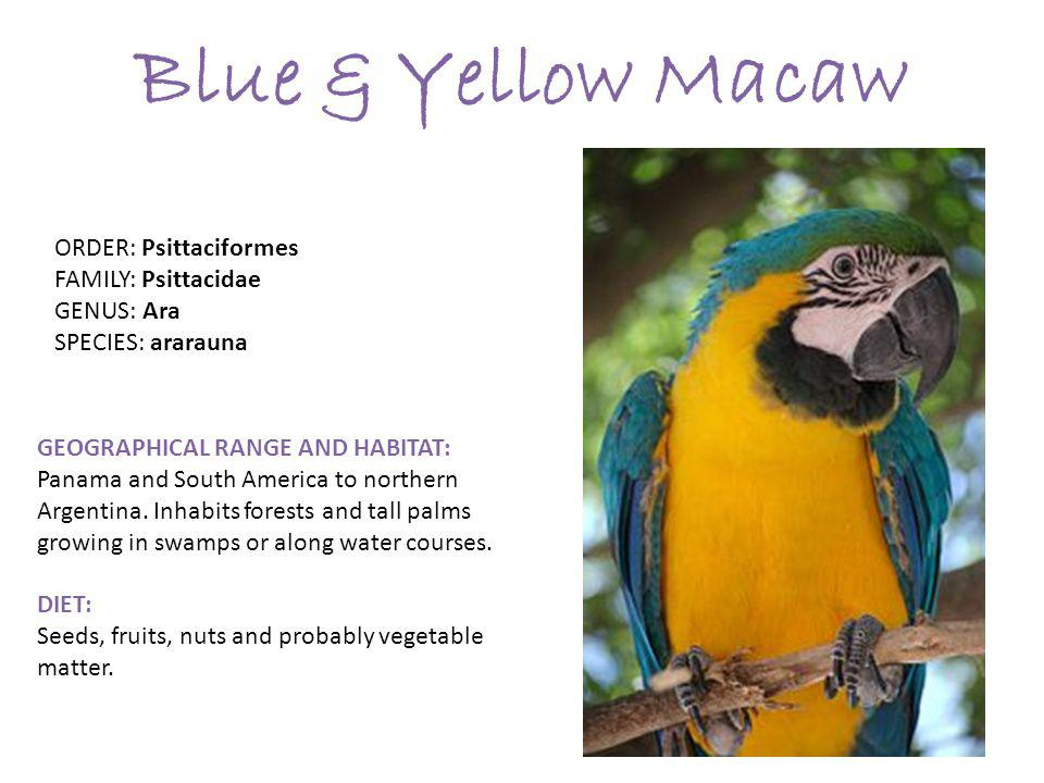 Blue & Yellow Macaw GEOGRAPHICAL RANGE AND HABITAT: Panama and South America to northern Argentina.