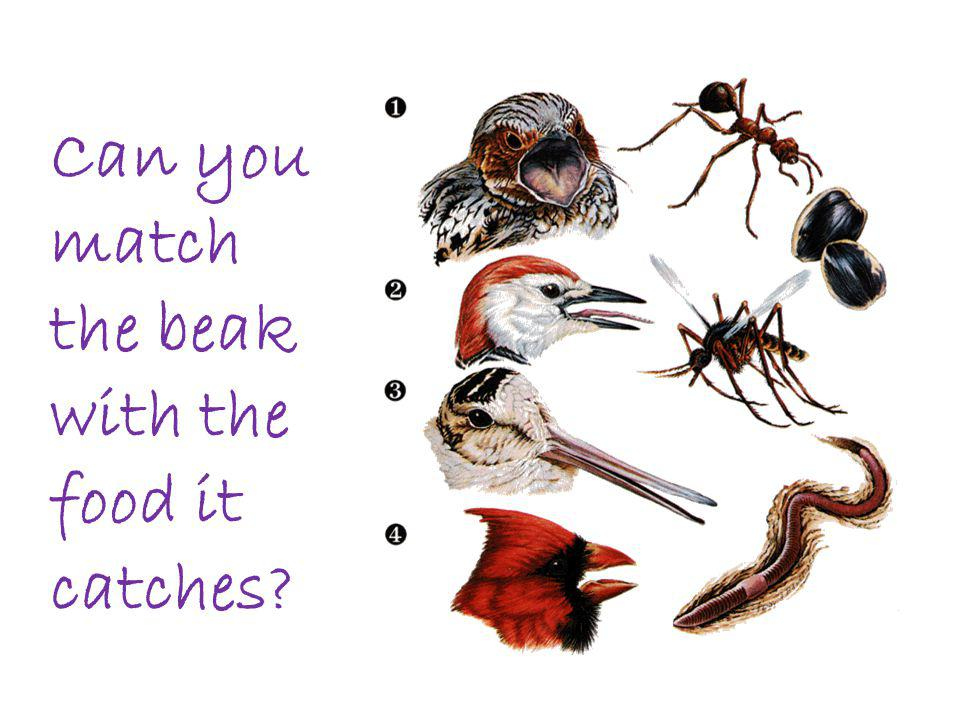 Can you match the beak with the food it catches