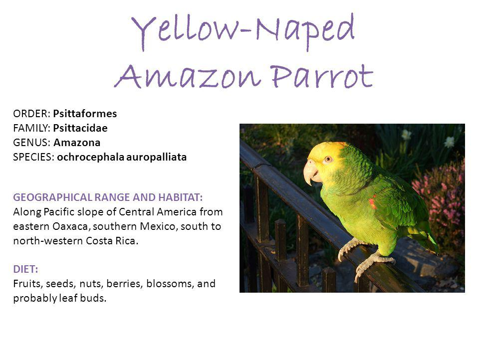 Yellow-Naped Amazon Parrot ORDER: Psittaformes FAMILY: Psittacidae GENUS: Amazona SPECIES: ochrocephala auropalliata GEOGRAPHICAL RANGE AND HABITAT: Along Pacific slope of Central America from eastern Oaxaca, southern Mexico, south to north-western Costa Rica.