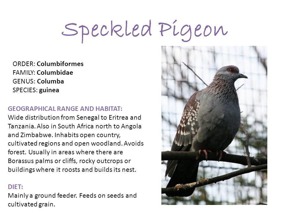 Speckled Pigeon ORDER: Columbiformes FAMILY: Columbidae GENUS: Columba SPECIES: guinea GEOGRAPHICAL RANGE AND HABITAT: Wide distribution from Senegal to Eritrea and Tanzania.