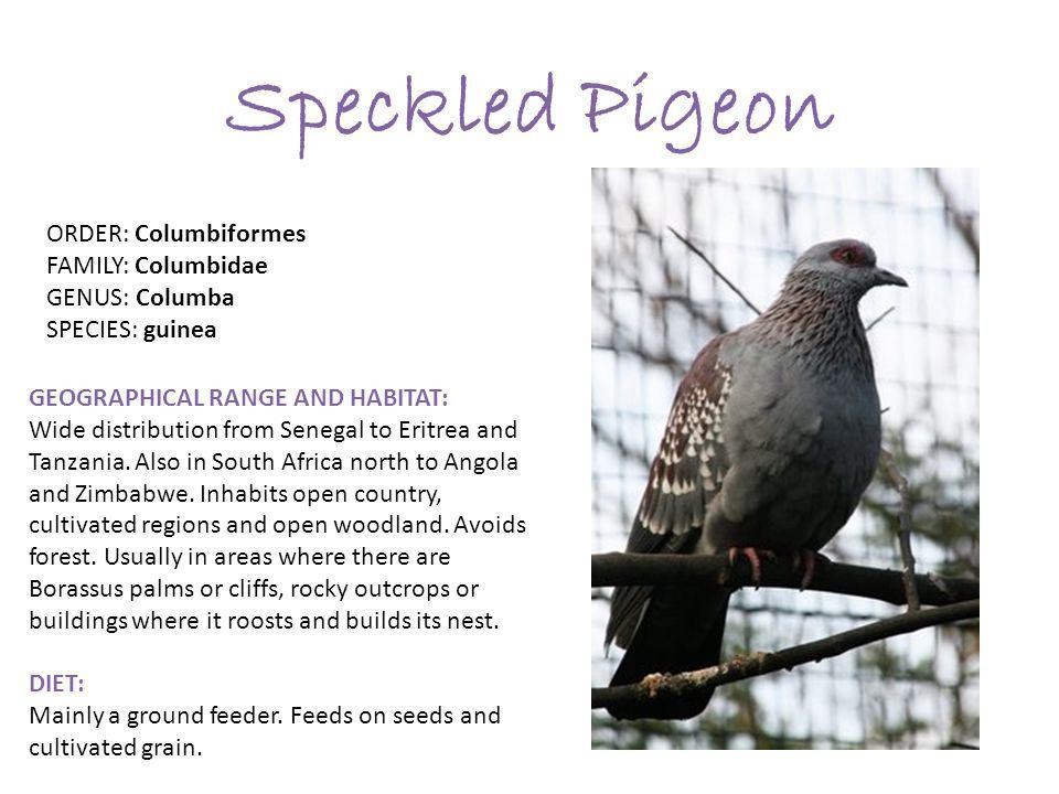 Speckled Pigeon ORDER: Columbiformes FAMILY: Columbidae GENUS: Columba SPECIES: guinea GEOGRAPHICAL RANGE AND HABITAT: Wide distribution from Senegal