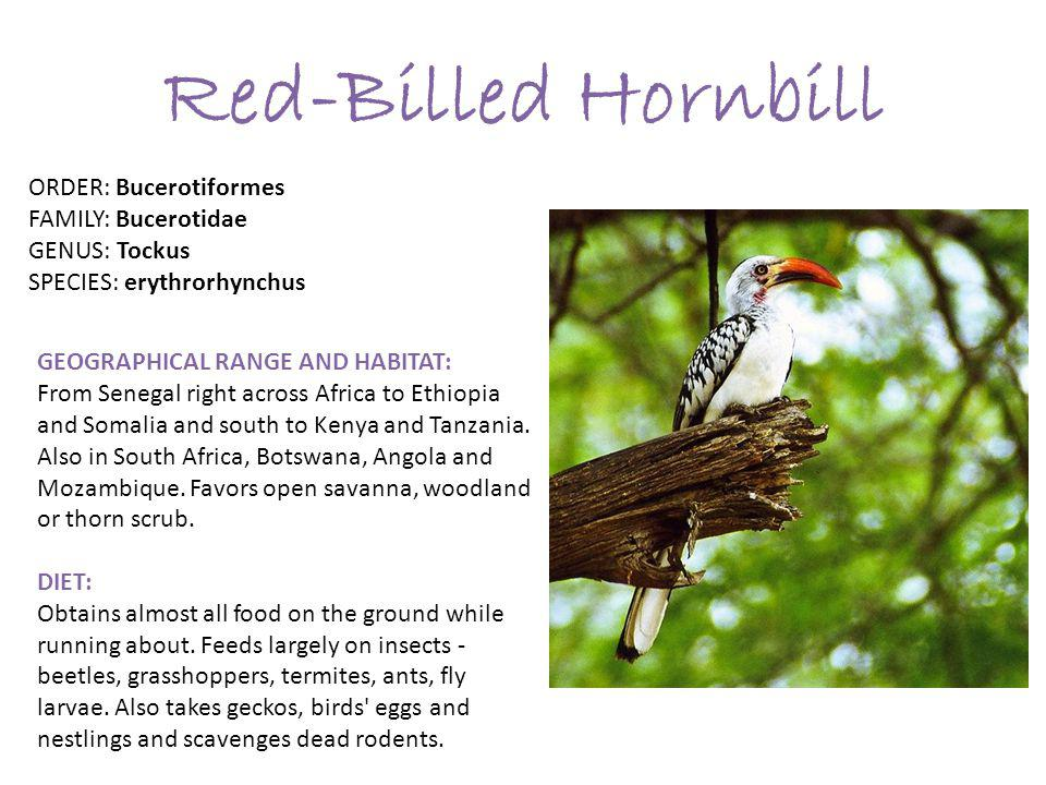 Red-Billed Hornbill GEOGRAPHICAL RANGE AND HABITAT: From Senegal right across Africa to Ethiopia and Somalia and south to Kenya and Tanzania.