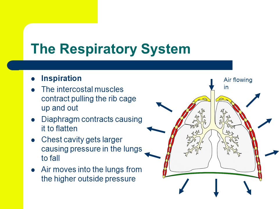 The Respiratory System Inspiration The intercostal muscles contract pulling the rib cage up and out Diaphragm contracts causing it to flatten Chest cavity gets larger causing pressure in the lungs to fall Air moves into the lungs from the higher outside pressure Air flowing in