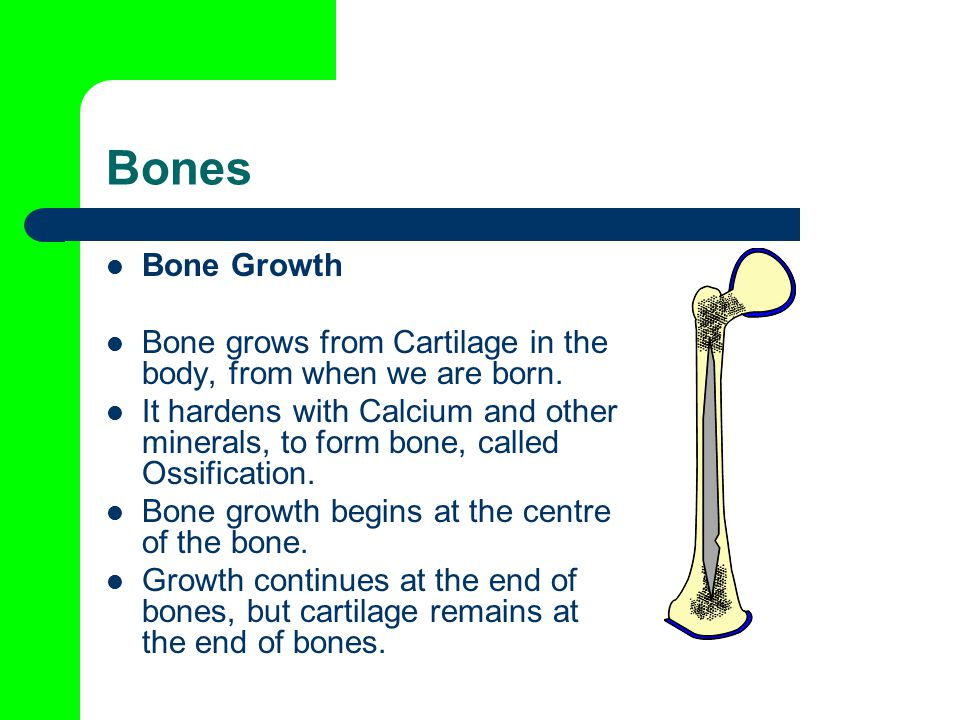 Bones Bone Growth Bone grows from Cartilage in the body, from when we are born.