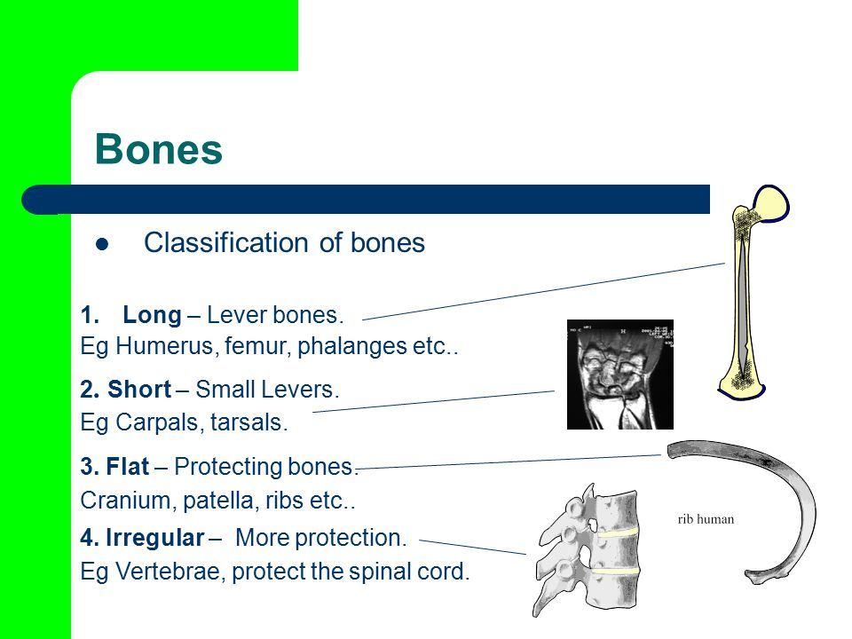 Bones Classification of bones 1.Long – Lever bones.