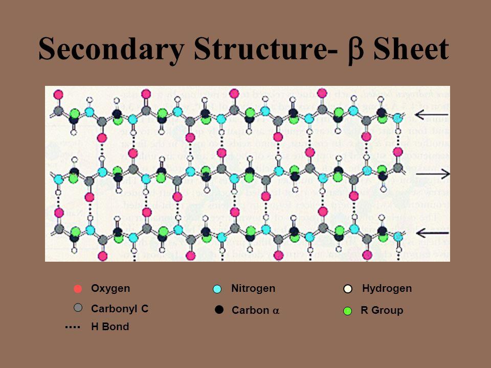 Secondary Structure- Sheet OxygenNitrogen R Group Hydrogen Carbon Carbonyl C H Bond
