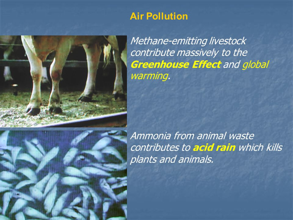 Air Pollution Methane-emitting livestock contribute massively to the Greenhouse Effect and global warming. Ammonia from animal waste contributes to ac