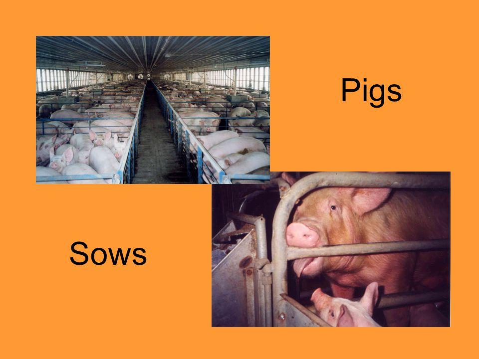 Pigs Sows