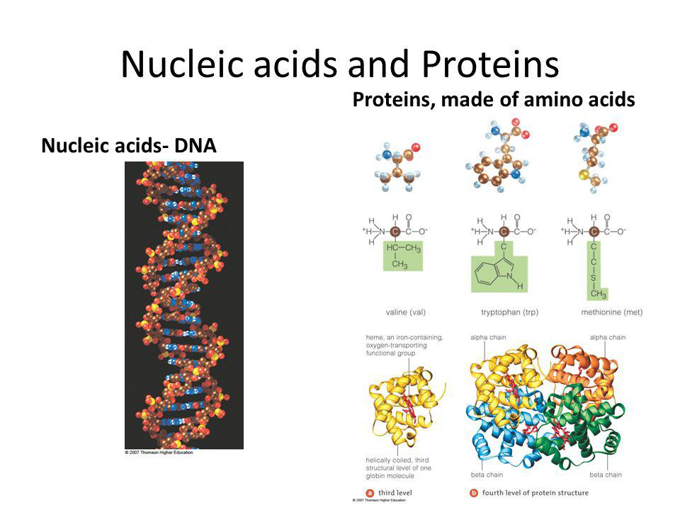 Nucleic acids and Proteins Nucleic acids- DNA Proteins, made of amino acids