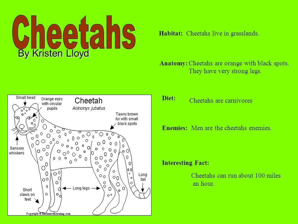 By Kristen Lloyd Habitat: Anatomy: Diet: Enemies: Interesting Fact: Cheetahs live in grasslands. Cheetahs are orange with black spots. They have very