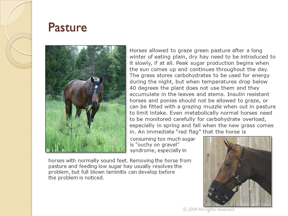 Pasture Horses allowed to graze green pasture after a long winter of eating plain, dry hay need to be introduced to it slowly, if at all. Peak sugar p