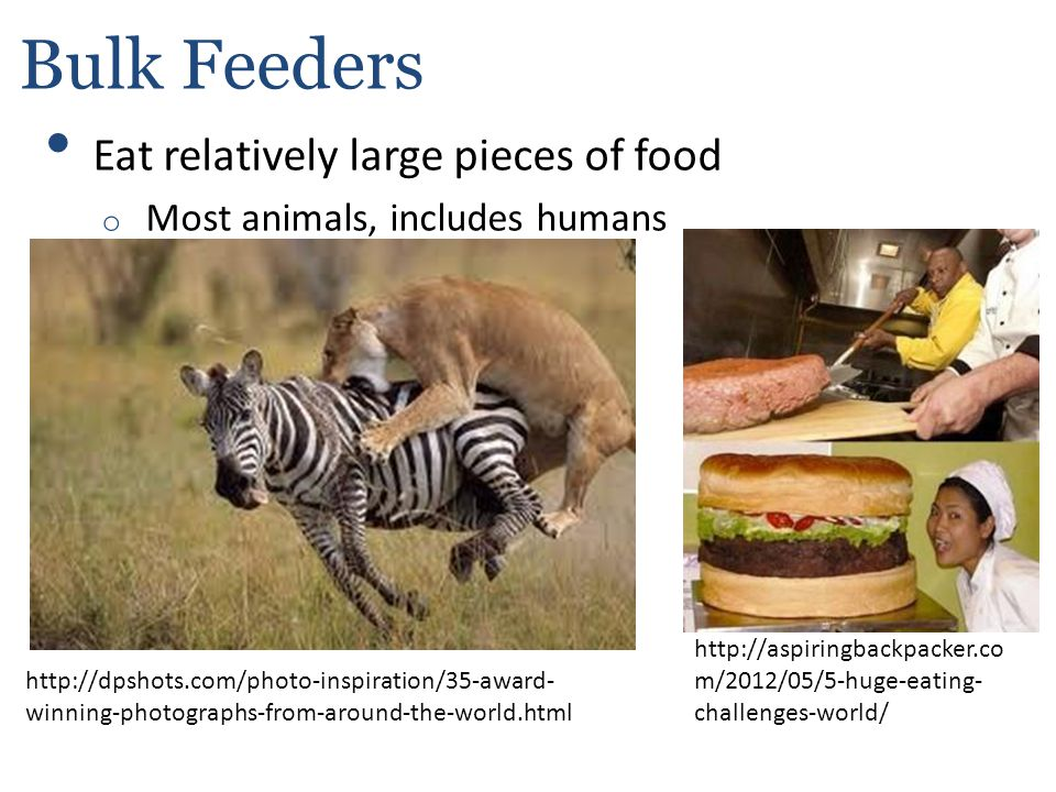 Bulk Feeders Eat relatively large pieces of food o Most animals, includes humans http://dpshots.com/photo-inspiration/35-award- winning-photographs-fr