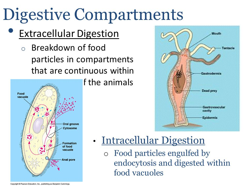 Extracellular Digestion o Breakdown of food particles in compartments that are continuous within the outside of the animals body Digestive Compartment