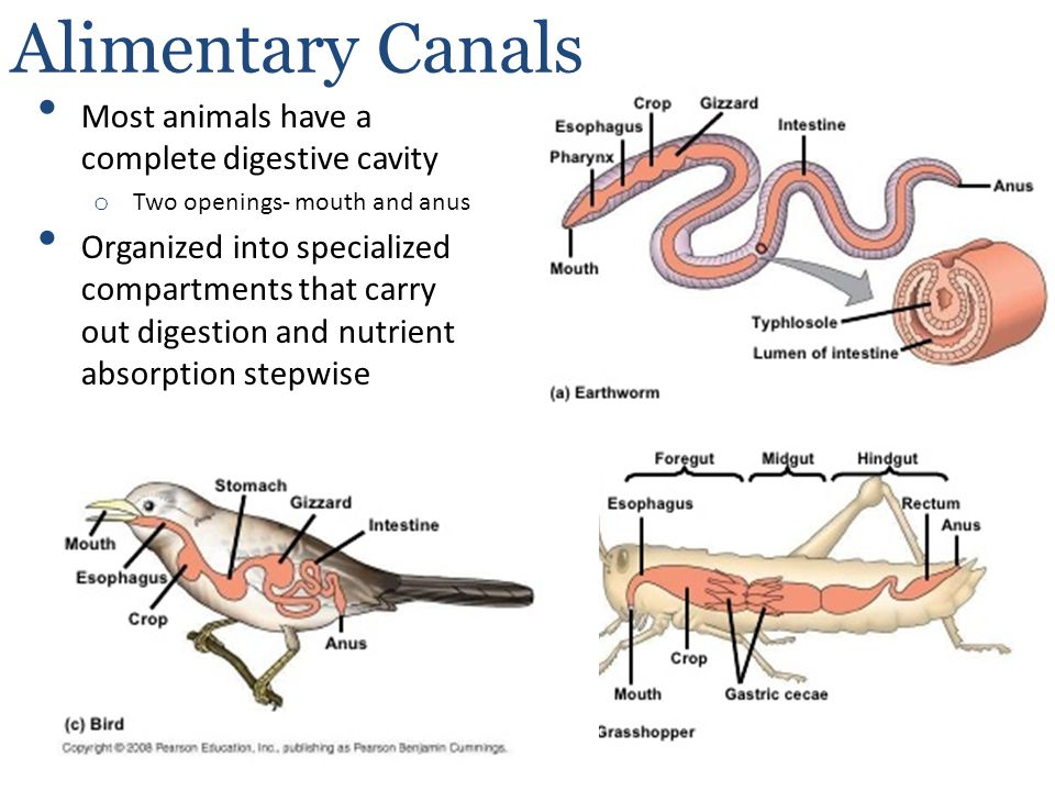 Alimentary Canals Most animals have a complete digestive cavity o Two openings- mouth and anus Organized into specialized compartments that carry out