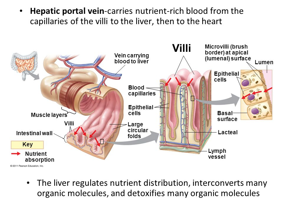 Vein carrying blood to liver Muscle layers Blood capillaries Villi Intestinal wall Epithelial cells Large circular folds Key Nutrient absorption Villi