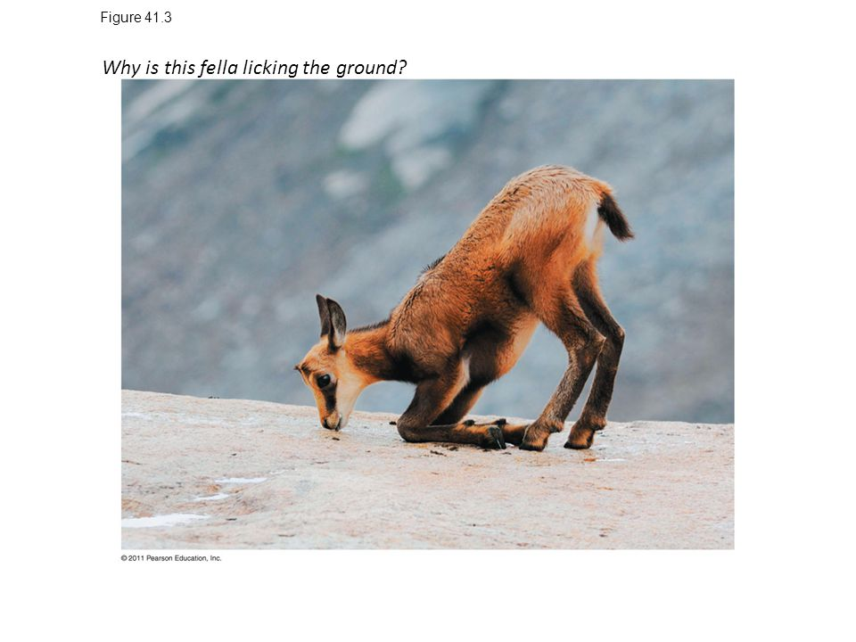 Figure 41.3 Why is this fella licking the ground?