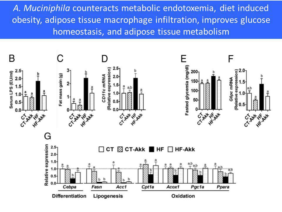 A. Muciniphila counteracts metabolic endotoxemia, diet induced obesity, adipose tissue macrophage infiltration, improves glucose homeostasis, and adip