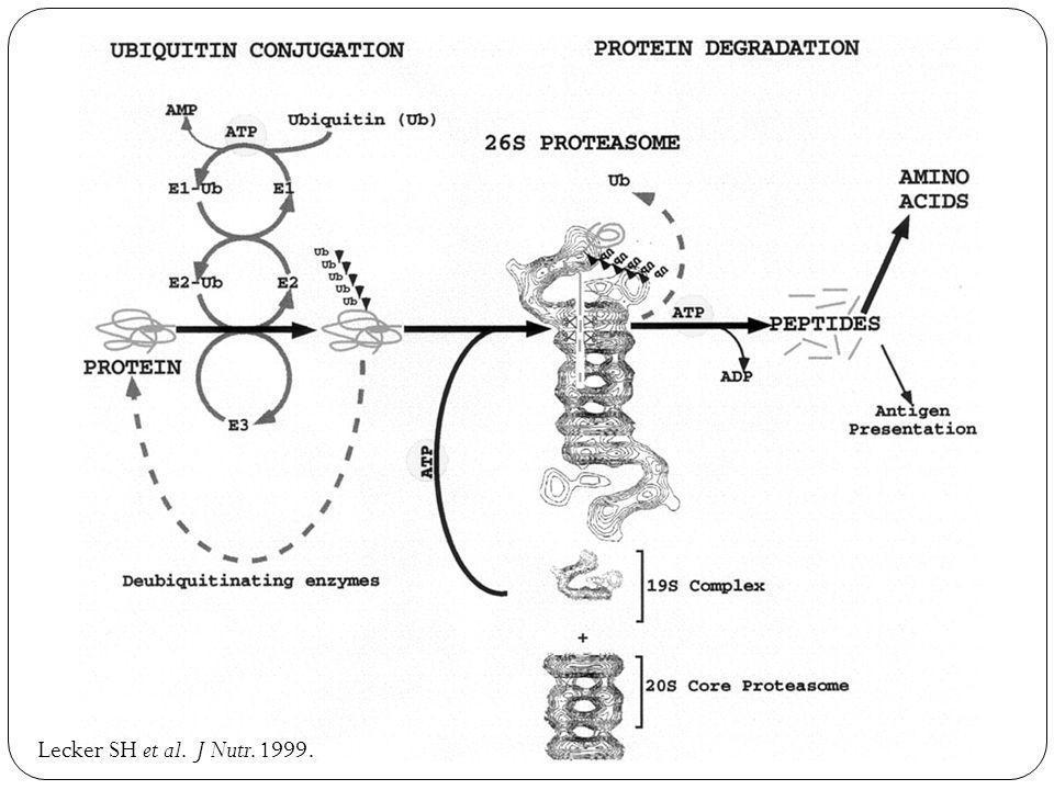 Lecker SH et al. J Nutr. 1999.