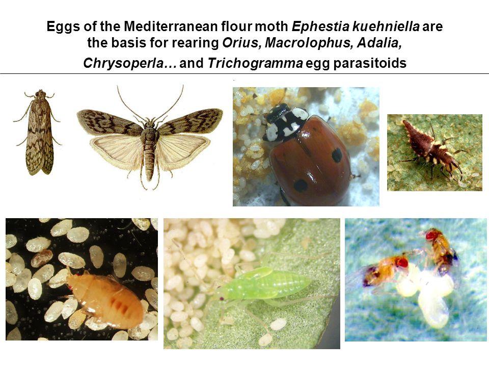Eggs of the Mediterranean flour moth Ephestia kuehniella are the basis for rearing Orius, Macrolophus, Adalia, Chrysoperla… and Trichogramma egg paras