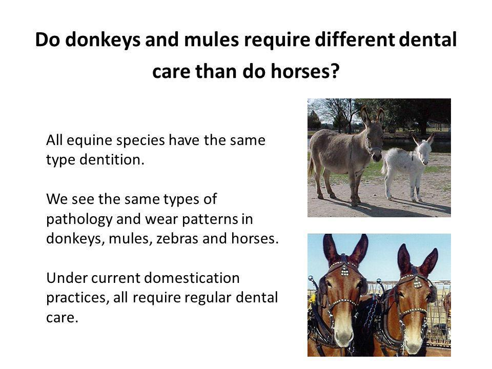Do donkeys and mules require different dental care than do horses? All equine species have the same type dentition. We see the same types of pathology