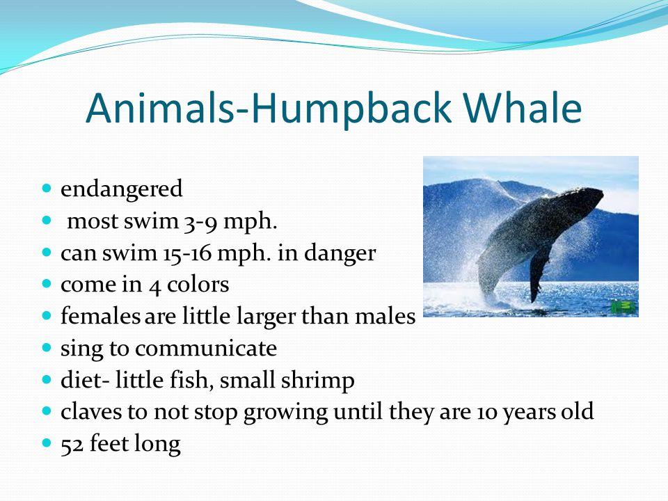 Animals-Humpback Whale endangered most swim 3-9 mph.