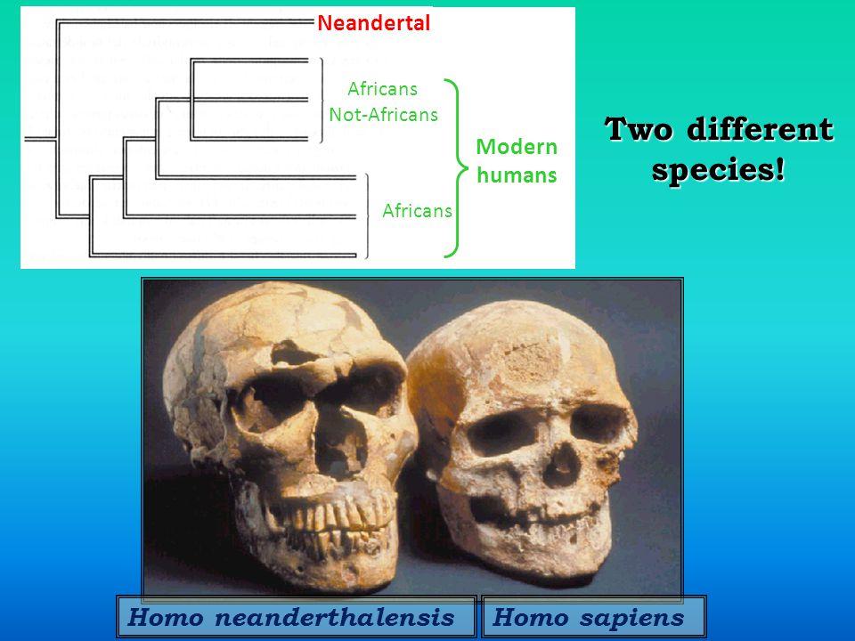 Homo neanderthalensisHomo sapiens Two different species.