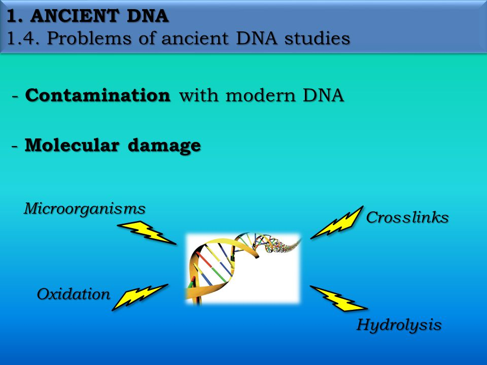 1. ANCIENT DNA 1.4. Problems of ancient DNA studies - Contamination with modern DNA - Molecular damage Oxidation Microorganisms Crosslinks Hydrolysis