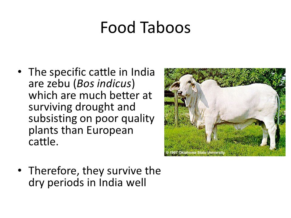 Food Taboos The specific cattle in India are zebu (Bos indicus) which are much better at surviving drought and subsisting on poor quality plants than European cattle.
