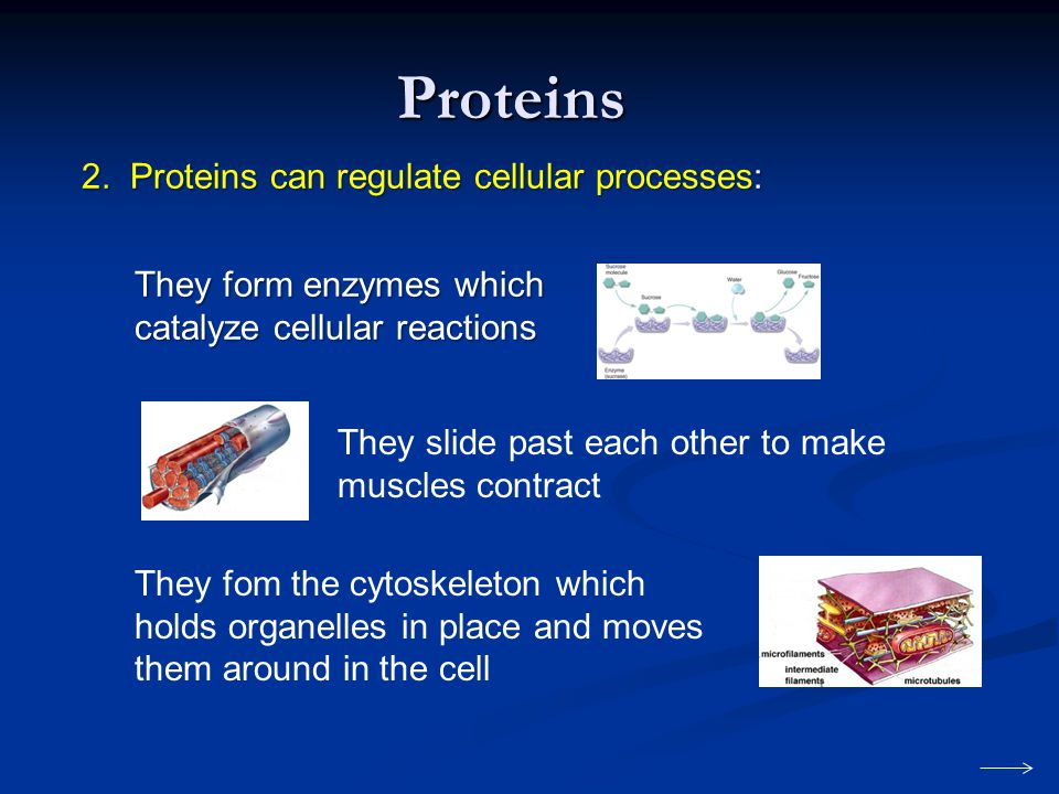 They form enzymes which catalyze cellular reactions Proteins They slide past each other to make muscles contract They fom the cytoskeleton which holds organelles in place and moves them around in the cell 2.