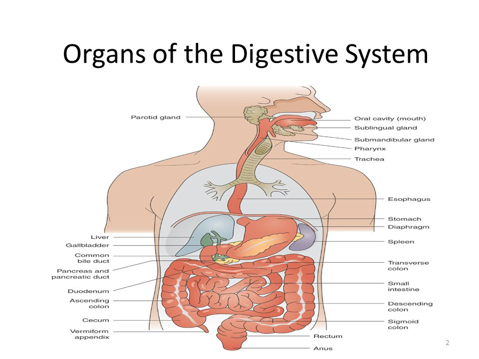 Organs of the Digestive System 2