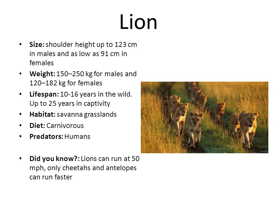 Lion Size: shoulder height up to 123 cm in males and as low as 91 cm in females Weight: 150–250 kg for males and 120–182 kg for females Lifespan: 10-16 years in the wild.