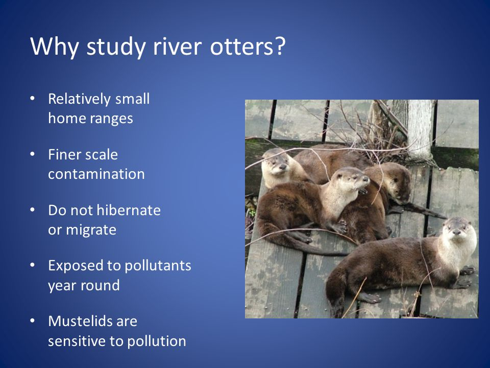 Why study river otters.