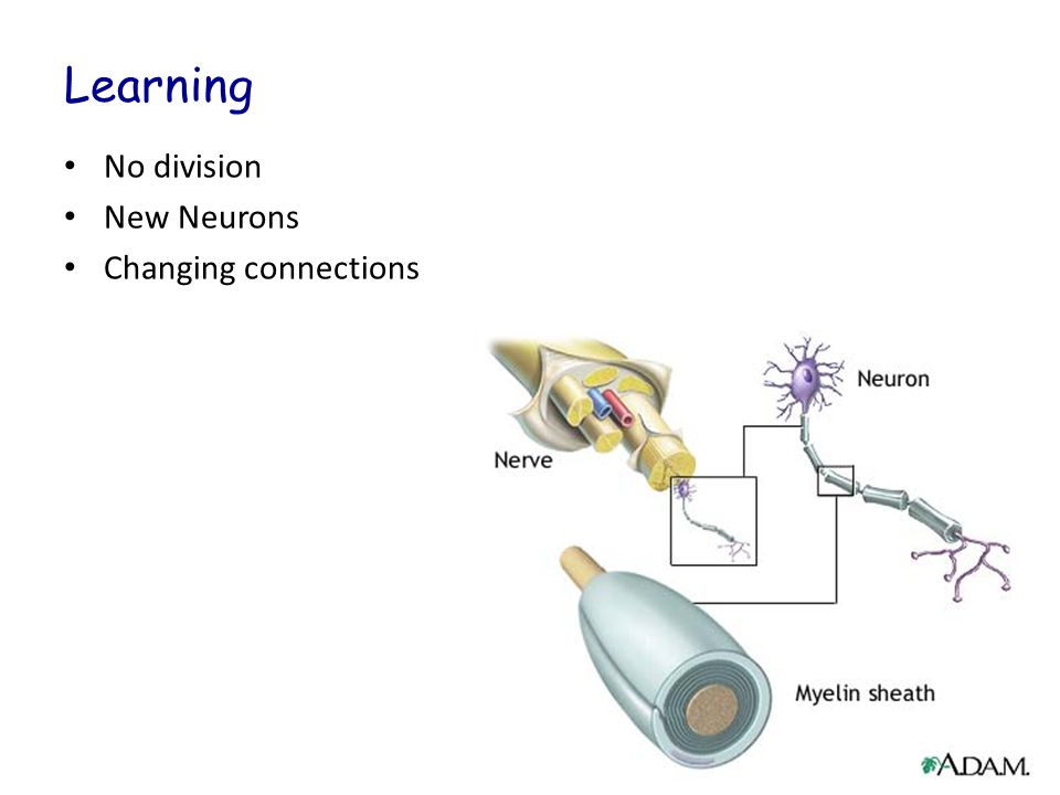 Learning No division New Neurons Changing connections