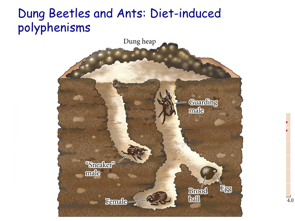 Dung Beetles and Ants: Diet-induced polyphenisms Queen Ant vs Worker Ant Horned male Dung Beetles: Protector of the Female.
