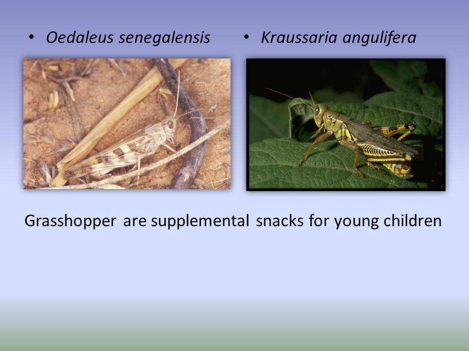 Oedaleus senegalensis Kraussaria angulifera Grasshopper are supplemental snacks for young children