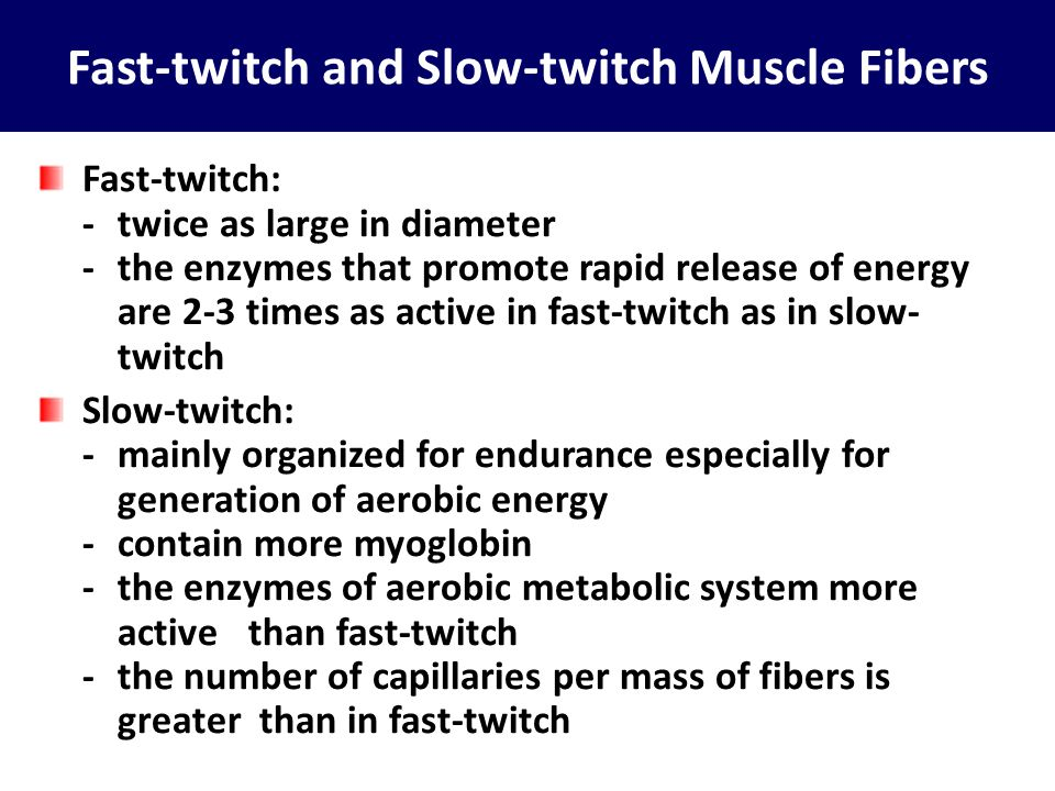 Fast-twitch and Slow-twitch Muscle Fibers Fast-twitch: -twice as large in diameter -the enzymes that promote rapid release of energy are 2-3 times as