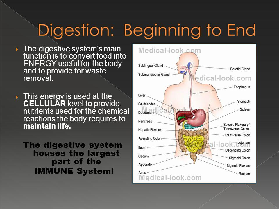 The digestive systems main function is to convert food into ENERGY useful for the body and to provide for waste removal.