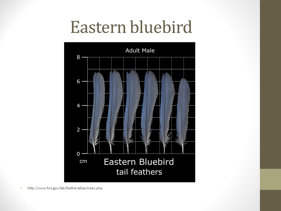 Eastern bluebird http://www.fws.gov/lab/featheratlas/index.php