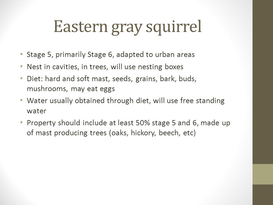 Eastern gray squirrel Stage 5, primarily Stage 6, adapted to urban areas Nest in cavities, in trees, will use nesting boxes Diet: hard and soft mast, seeds, grains, bark, buds, mushrooms, may eat eggs Water usually obtained through diet, will use free standing water Property should include at least 50% stage 5 and 6, made up of mast producing trees (oaks, hickory, beech, etc)
