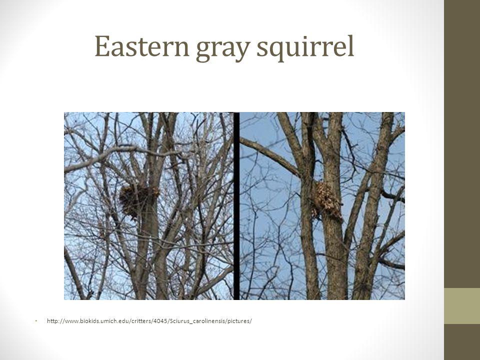 Eastern gray squirrel http://www.biokids.umich.edu/critters/4045/Sciurus_carolinensis/pictures/