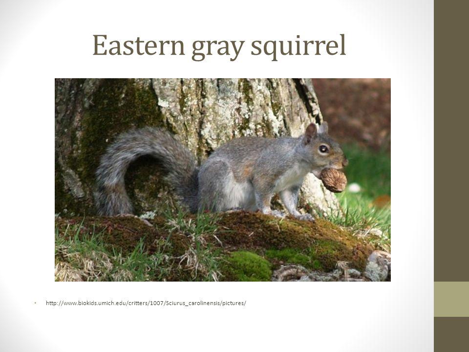 Eastern gray squirrel http://www.biokids.umich.edu/critters/1007/Sciurus_carolinensis/pictures/