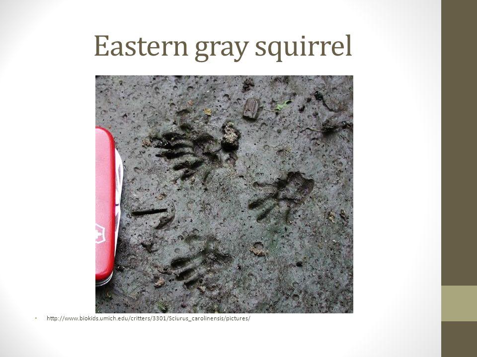 Eastern gray squirrel http://www.biokids.umich.edu/critters/3301/Sciurus_carolinensis/pictures/