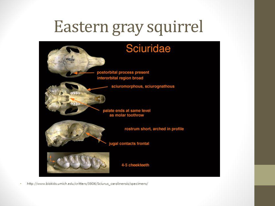 Eastern gray squirrel http://www.biokids.umich.edu/critters/3906/Sciurus_carolinensis/specimens/