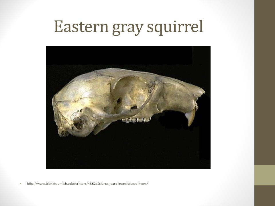 Eastern gray squirrel http://www.biokids.umich.edu/critters/4362/Sciurus_carolinensis/specimens/