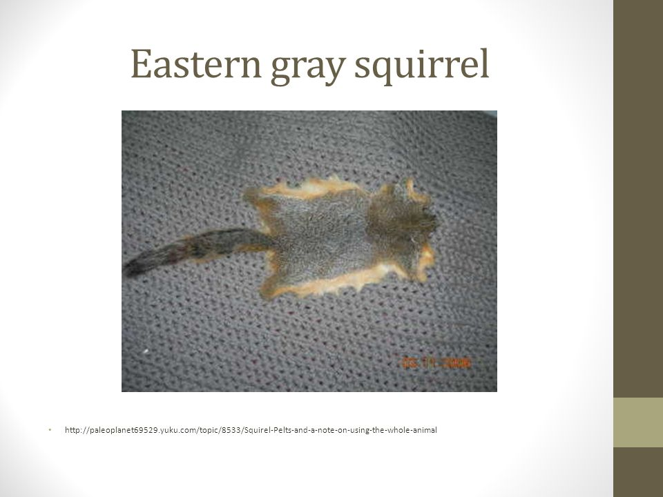 Eastern gray squirrel http://paleoplanet69529.yuku.com/topic/8533/Squirel-Pelts-and-a-note-on-using-the-whole-animal